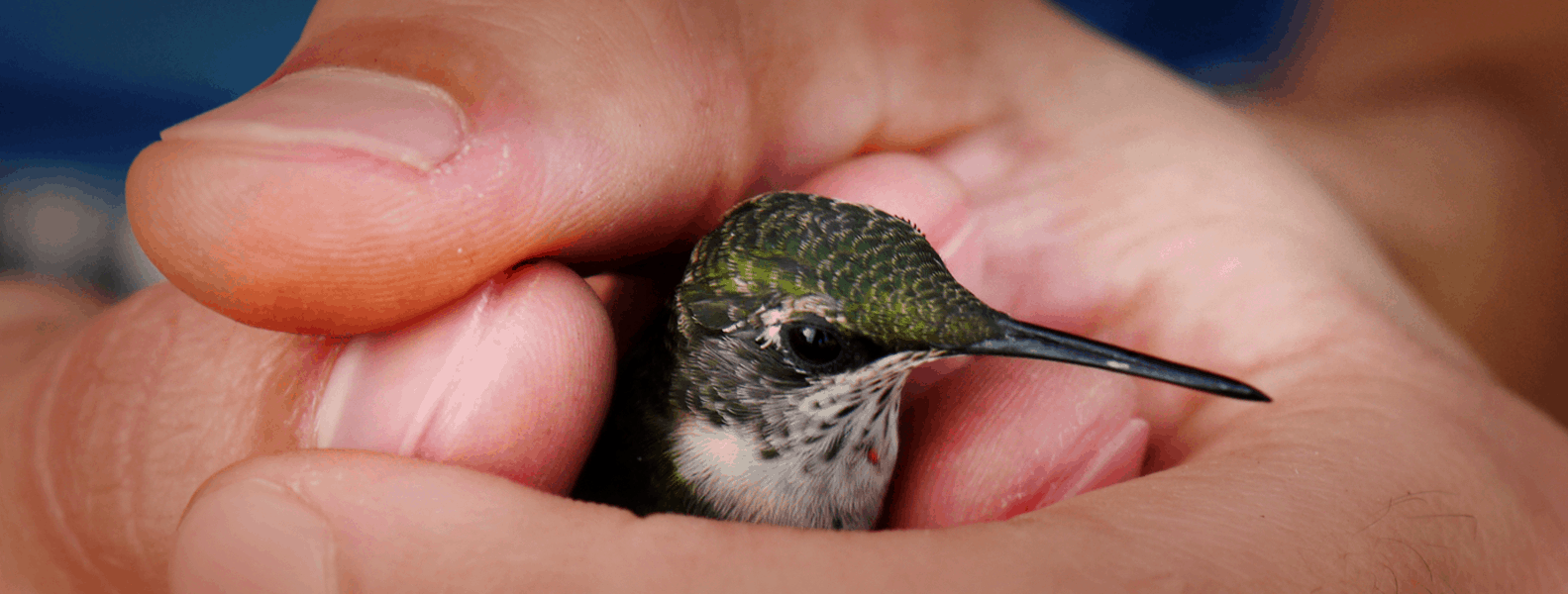 Ruby Throated Humming Bird in Aaron's hand - tyrantfarms.com