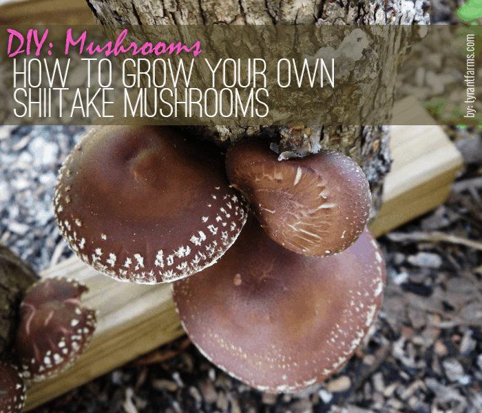 Shiitake Mushrooms growing at Tyrant Farms (How to Grow Shiitake Mushrooms)