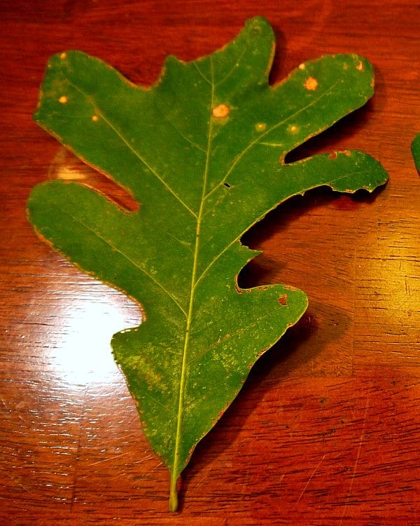 DIY: How to Make Acorn Flour - white oak leaf at www.TyrantFarms.com