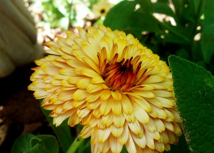 garden plants for chickens and ducks: Calendula Flower