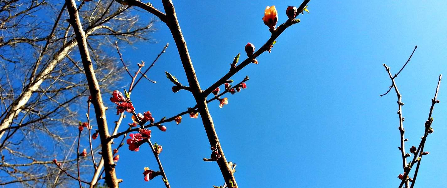 peach tree against blue sky at tyrant farms