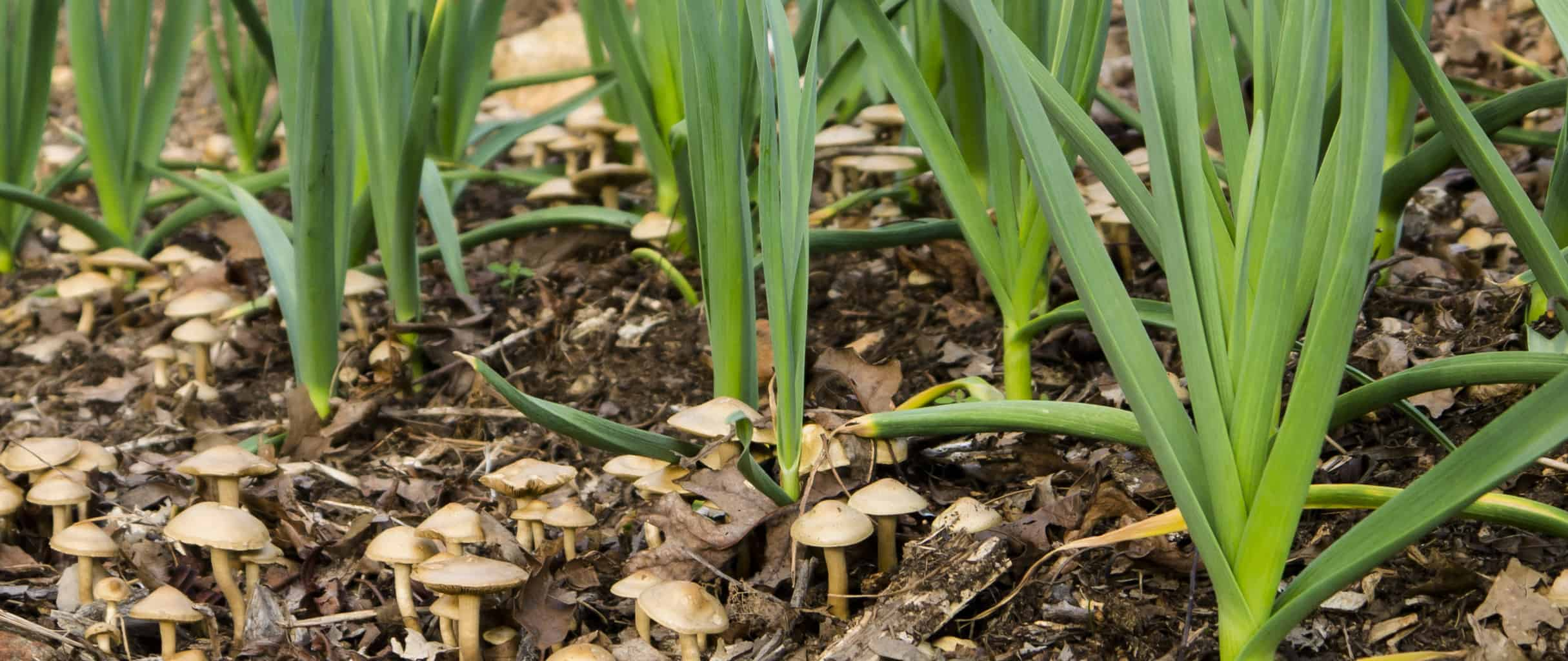 Organic green garlic growing at Tyrant Farms