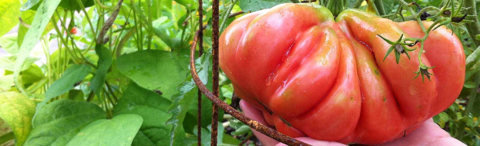 FI-Tomato-How-to-Extend-Season