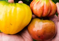 heirloom tomatoes - Tyrant Farms