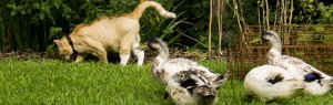 Bob von Kitten watches over his ducklings.