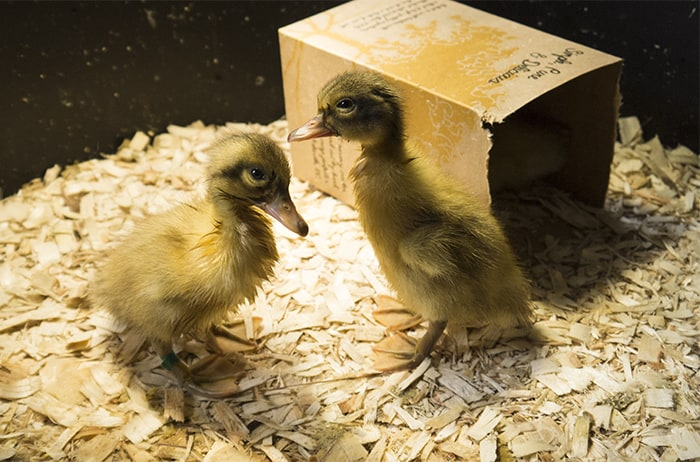 Two day old ducklings at Tyrant Farms.