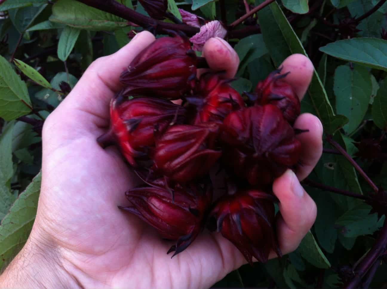A handful of hibiscus calyxes.