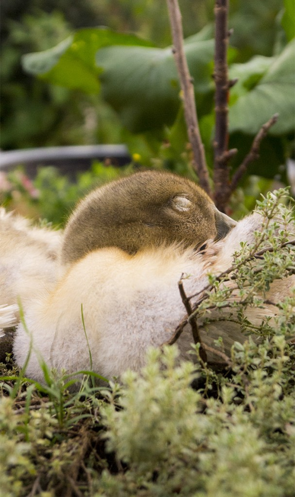 Ducklings sleeping on their makeshift nest (a thyme plant).