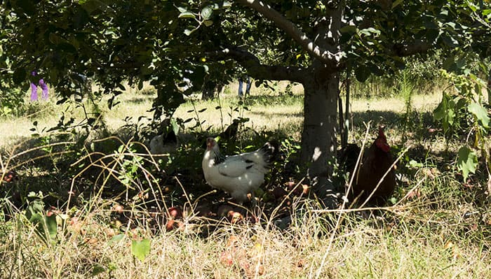 Chickens under apple tree at Windy Hill Orchard & Cidery in York, SC