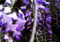 Wisteria sinsensis flowers.