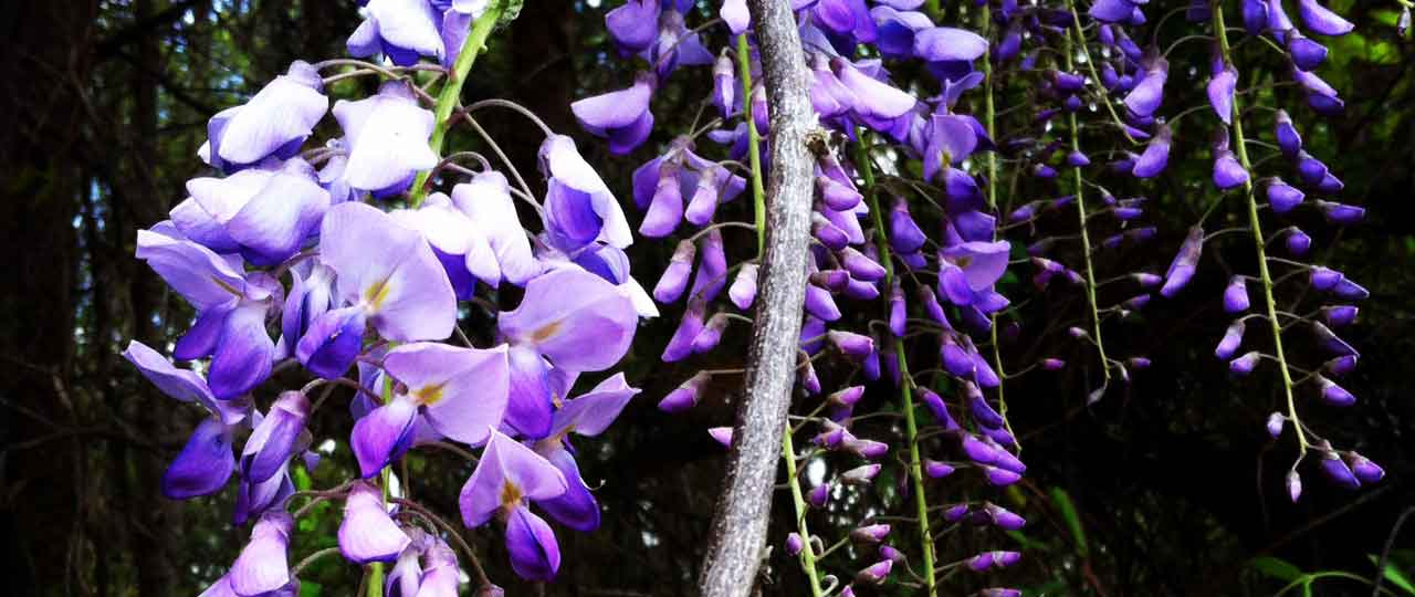 Three of our favorite wild edible flowers of spring tyrant farms wisteria sinsensis flowers mightylinksfo