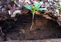 jerusalem artichoke in soil - tyrant farms
