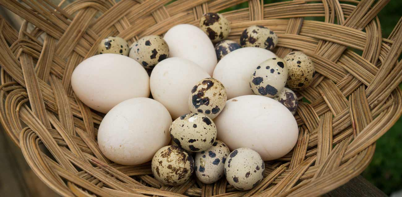 5 things you didn u0027t know about duck eggs tyrant farms