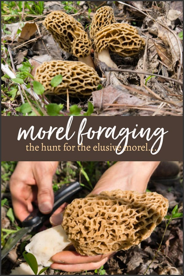 The hunt for the morel mushroom, one of the world's most coveted wild, gourmet fungi begins anew each spring... And it's almost time! #morels #morel #morelforaging #foragingmushrooms #mushrooms #tyrantfarms
