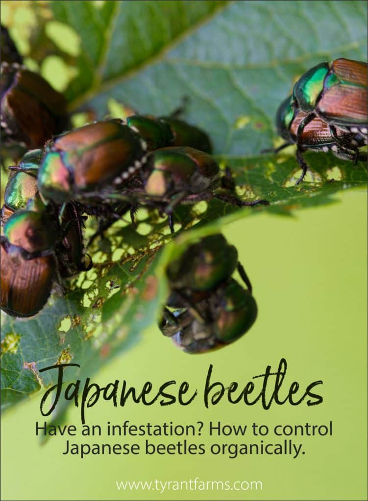 Dealing with an infestation? Japanese beetles are an invasive pest insect that can wreak havoc on your plants. Here's a method to control them organically (and make duck eggs)! #japanesebeetles #tyrantfarms #pestcontrol #pestinsects