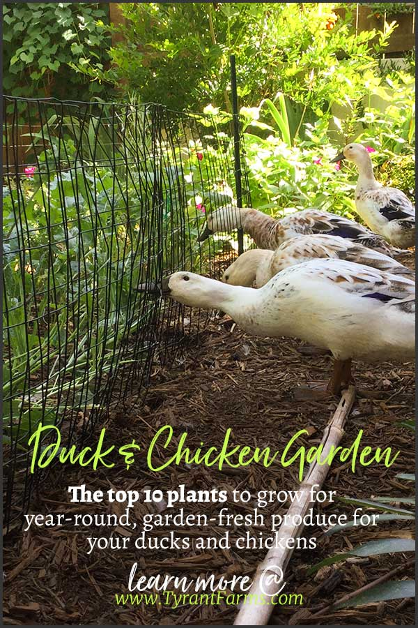The top 10 plants to grow for year-round, garden-fresh produce for your ducks and chickens. #growyourown #duckfood #chickenfood #plantsforchickens #plantsforducks #tyrantfarms