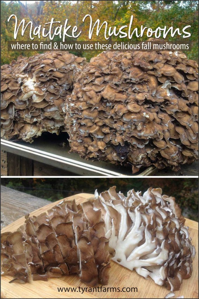 Found in late summer through fall, maitake mushrooms have been revered for their culinary and medicinal benefits for thousands of years. Those legendary benefits are now backed by modern science. Learn how & where to forage these wonderful mushrooms + how to cook them! #maitakemushrooms #foraging #mushroomforaging #wildcrafting #homesteading #tyrantfarms