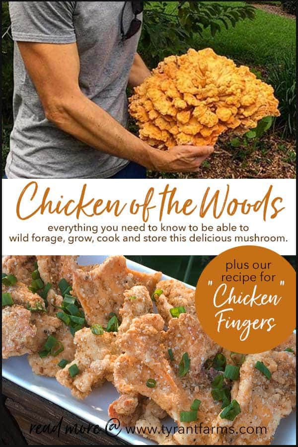 How to find, identify, grow, and cook chicken of the woods mushrooms.