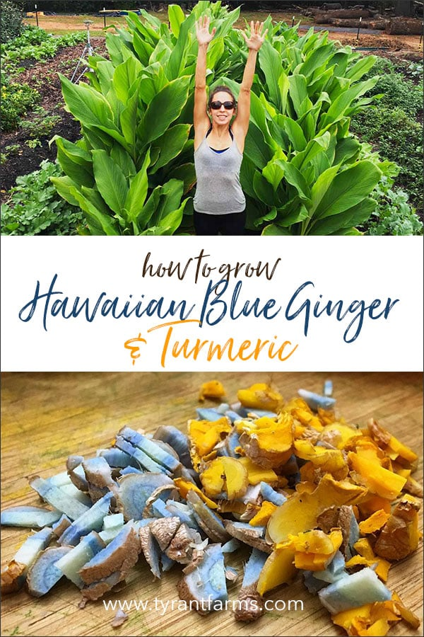 How to Grow Hawaiian Blue Ginger and Turmeric - Anywhere!