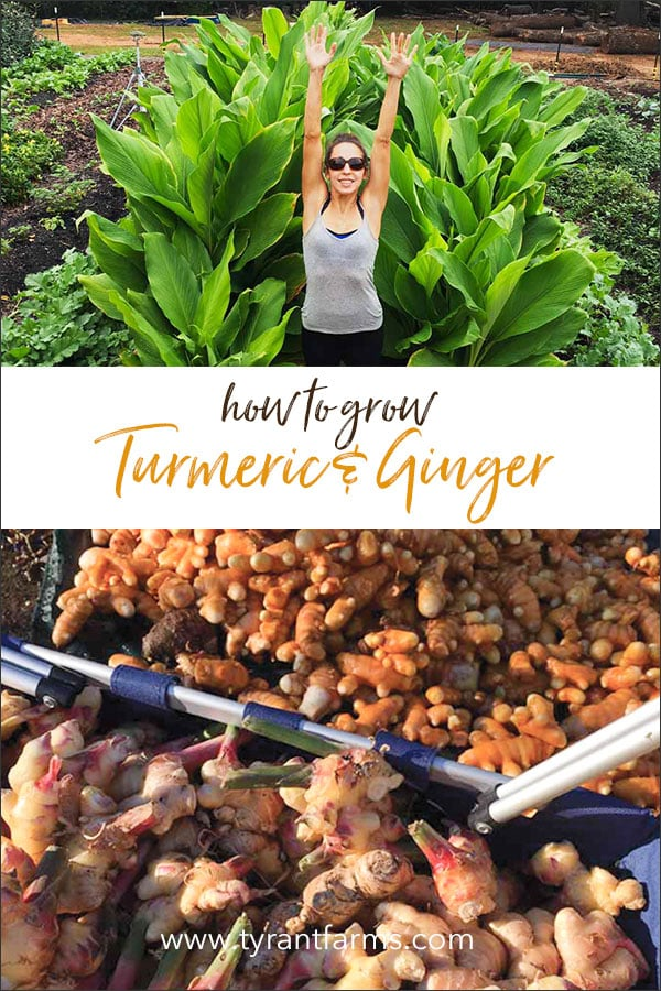 How to grow organic turmeric and ginger - anywhere!