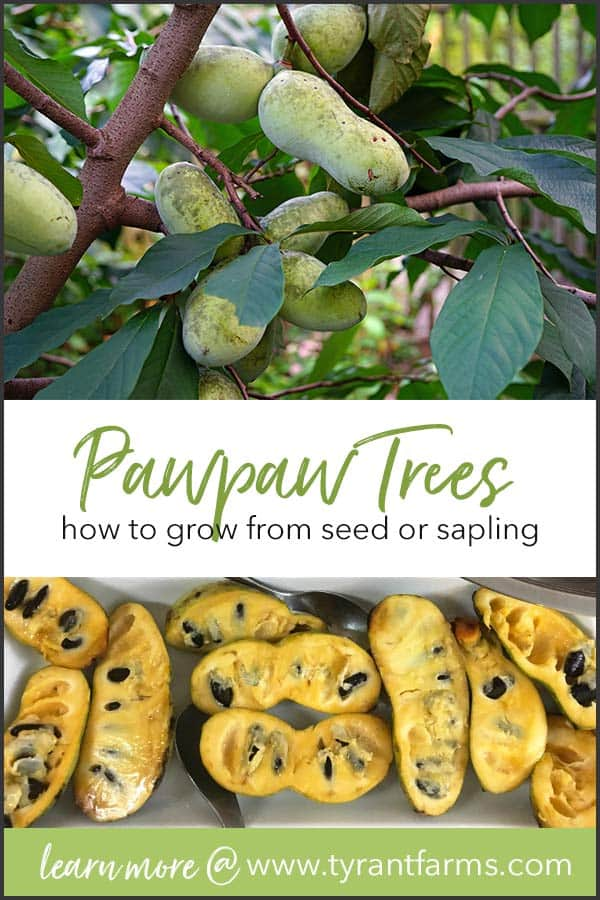 How to grow pawpaw trees. Learn how to grow pawpaw trees (Asimina triloba) from seed or from sapling, so you can grow your own supply of North America's largest and most delicious native fruit for decades to come. #growyourown #tyrantfarms #pawpaws #growpawpaw