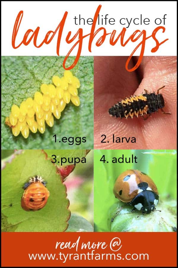 Lifecycle of a ladybug - pinterest / what do ladybug larvae look like