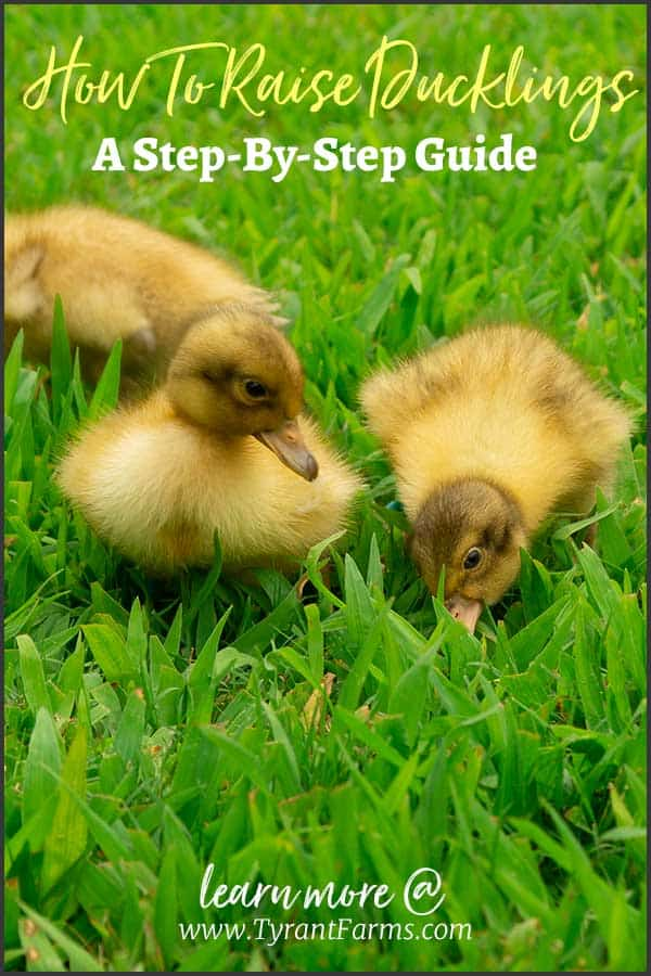 How to raise ducklings, article by Tyrant Farms. All about raising ducks: swimming, duck food, duck brooder, duck heat lamps, duck coops, and more.