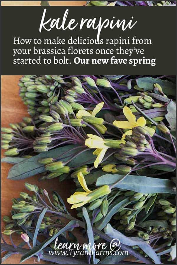 Kale Rapini: How to make delicious rapini from your brassica florets once they've started to bolt. Our new fave spring recipe! #brassicaflowers #eaththeflowers #rapini #springrecipes #tyrantfarms
