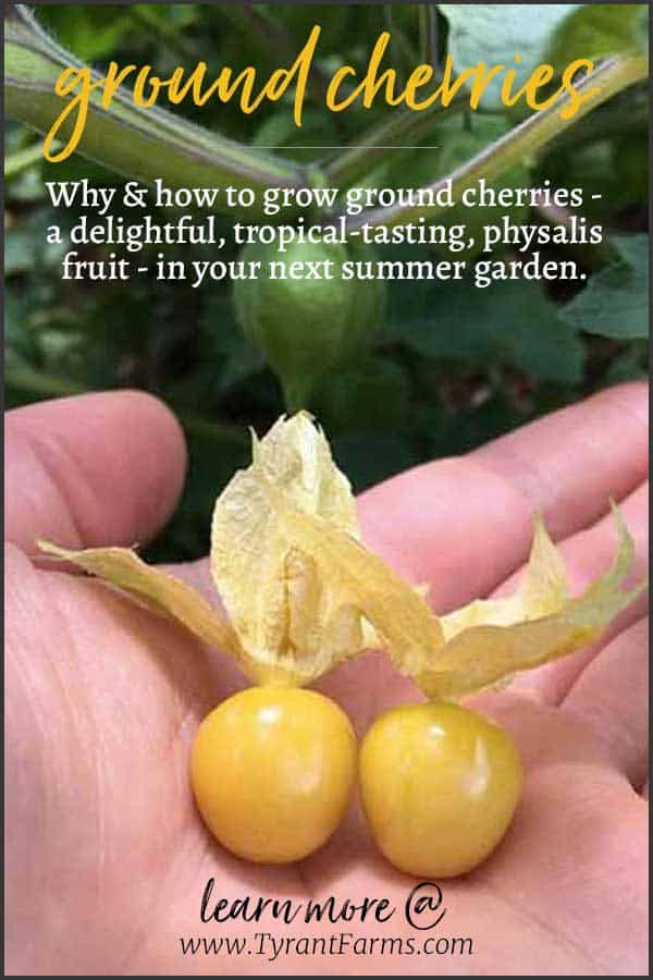 Why & how to grow ground cherries - a delightful, tropical-tasting, physalis fruit - in your next summer garden. #groundcherry #summerfruits #summergarden #physalis #ediblelandscape #tyrantfarms