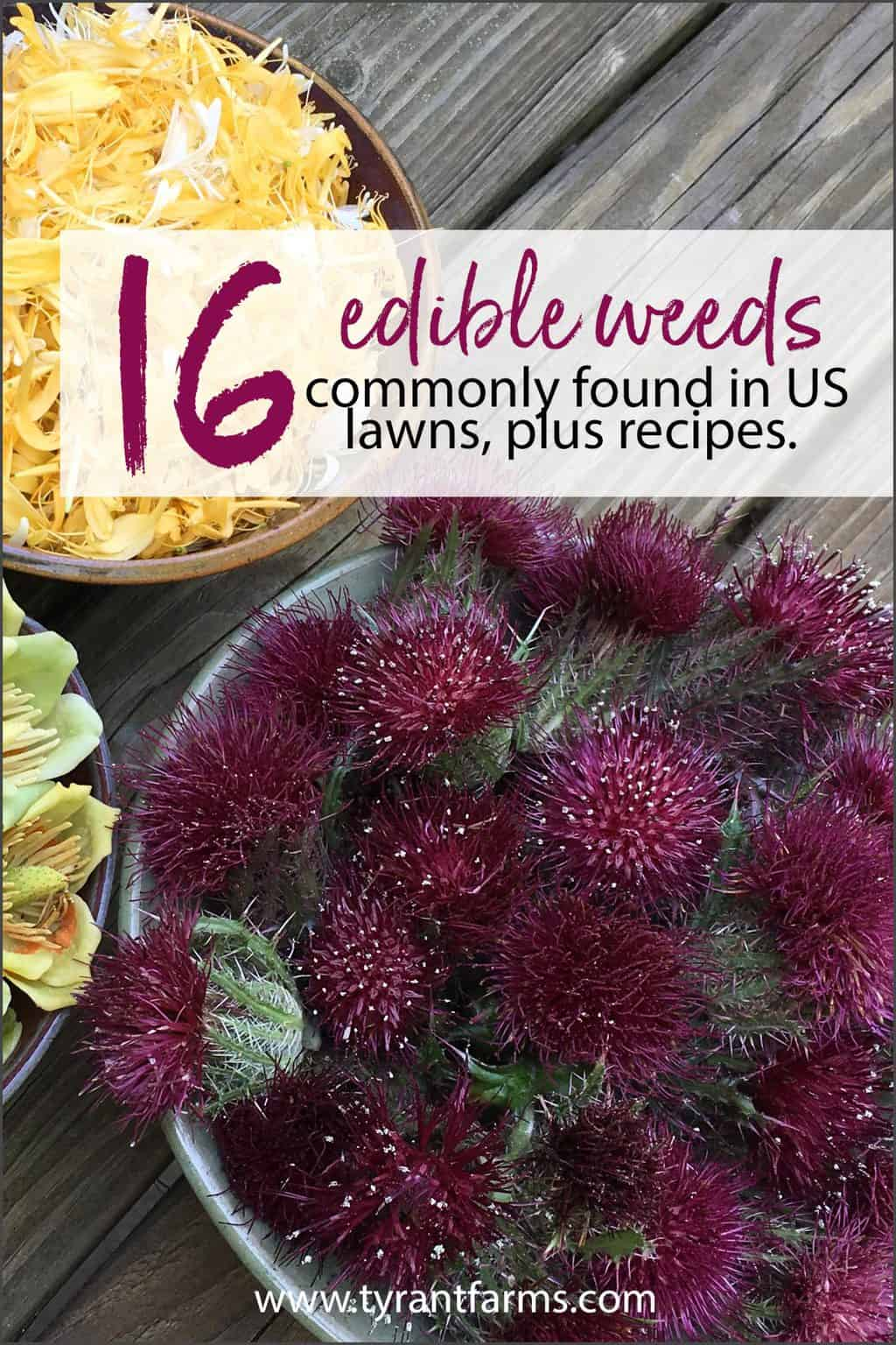 Your yard is probably full of edible weeds throughout the year. Here are 16 common edible weeds found in US lawns, plus recipes for how to use them. #tyrantfarms #eattheweeds #foraging