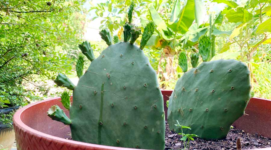 Nopales Cactus FRESH TENDER EDIBLE PADS Prickly Pears Spineless thornless
