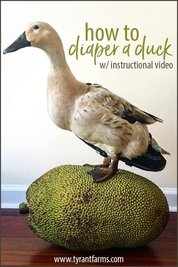 A step-by-step article + video showing you how to diaper a duck (or goose or chicken). Good for pet ducks OR prolonged care for a sick/injured outdoor duck. #tyrantfarms #ducks #duckcare #houseduck #practicalstuff