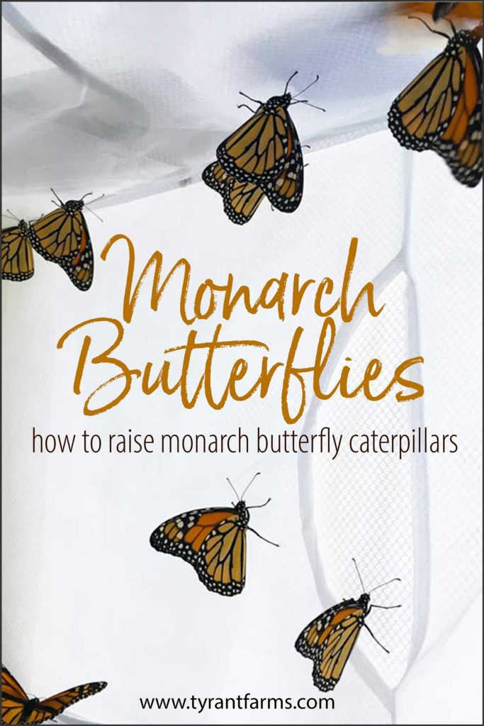If you're trying to figure out how to raise Monarch butterfly caterpillars at home, you're in the right place! Our family has many years of experience successfully raising Monarch butterflies and this guide will help you do the same! #tyrantfarms #raisingmonarchs #savethemonarchs #STEM #STEMactivities