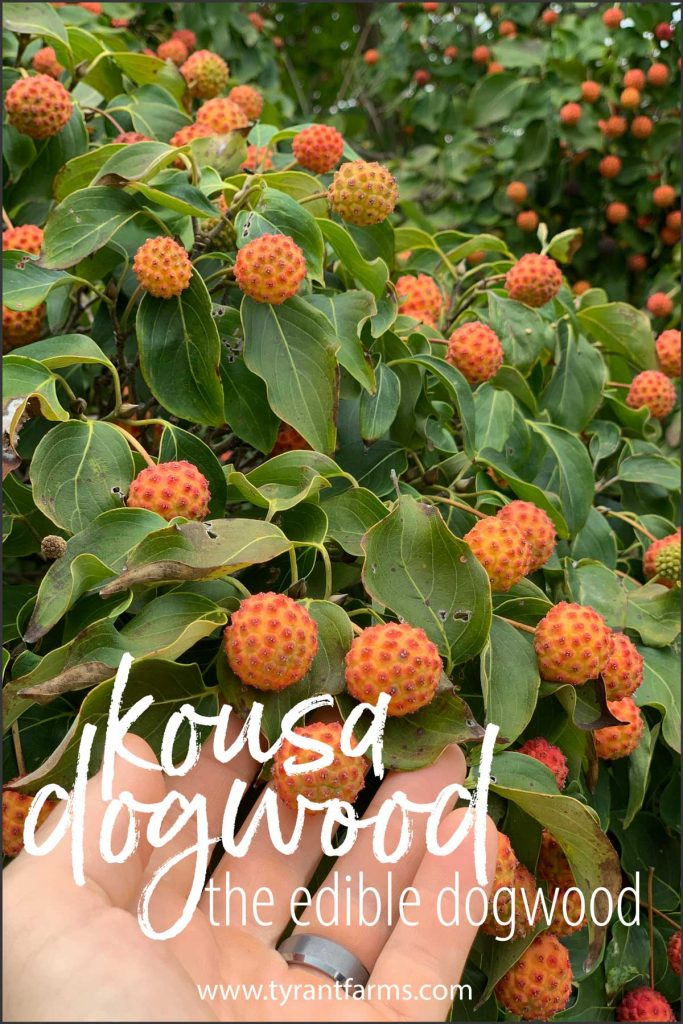 Asian Kousa dogwoods (Cornus kousa) are a beautiful tree that also produce a tasty edible fruit. Here's everything you need to know to grow, ID, and eat Kousa dogwood fruit. #foraging #tyrantfarms #kousadogwood #kousa #summerforaging #fallforaging