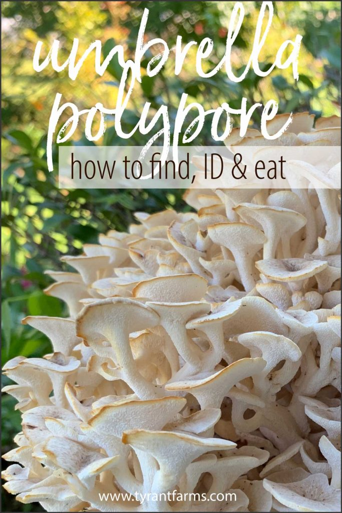 Umbrella polypore (Polyporus umbellatus) is a choice edible and medicinal mushroom that can be found throughout North America, Europe, and Asia. Similar to maitake mushrooms — but far more rare — you can often find them at the same spot at the same time year after year. #tyrantfarms #mushroomforaging #fallmushrooms #foraging #mushrooms