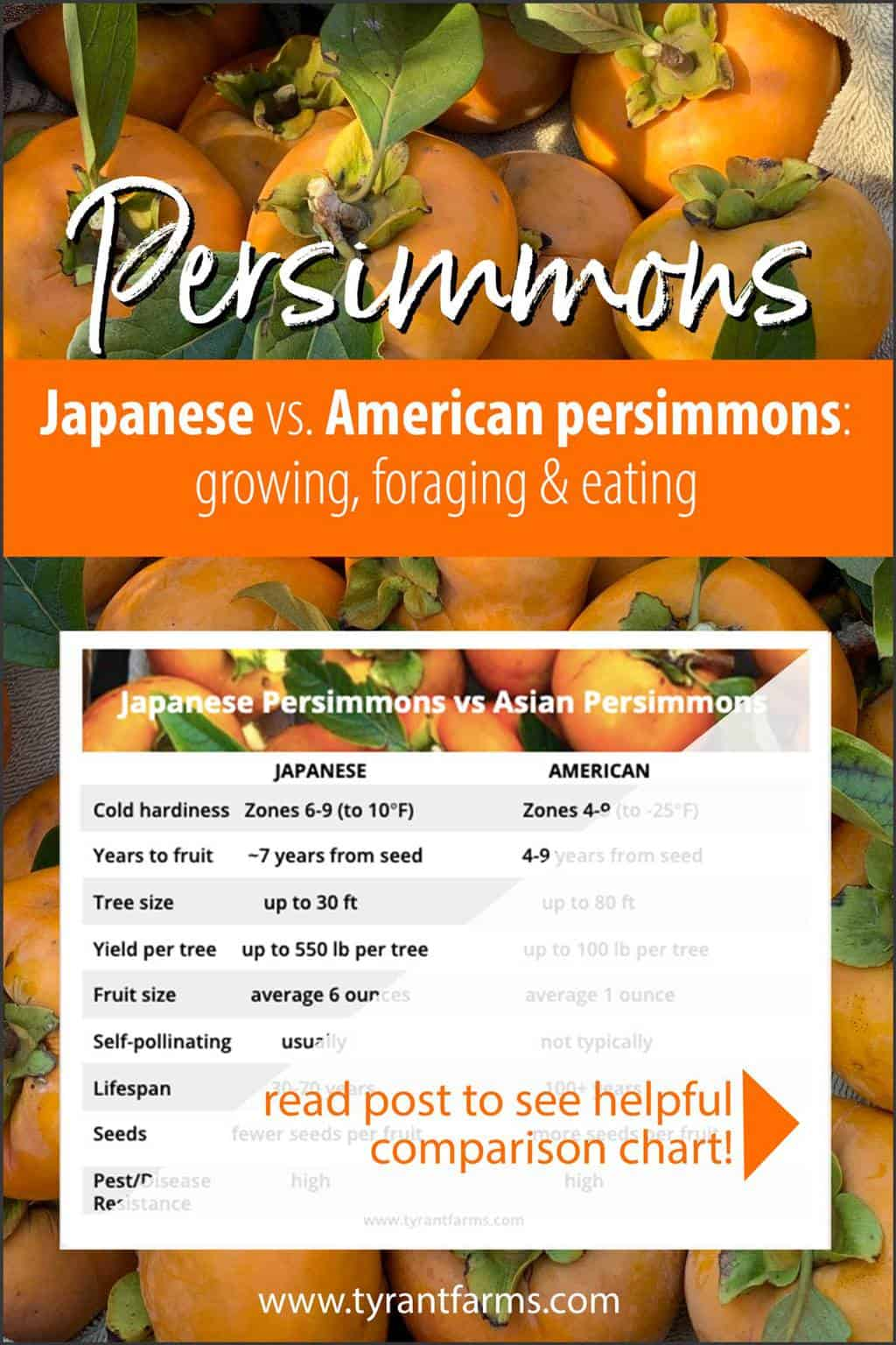 What's the difference between American persimmons and Japanese persimmons? Here's a side-by-side comparison chart to help you figure out which tree species is best for your garden, food forest, orchard, or farm. (See full comparison in article!) #tyrantfarms #foraging #fallforaging #foodforest #permaculture #ediblelandscaping #americanpersimmon #japanesepersimmon