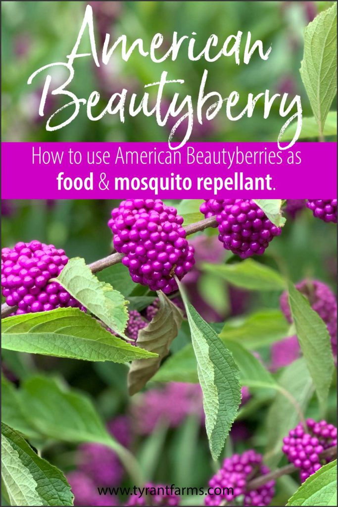 American beautyberries are a gorgeous native plant that produce edible berries and mosquito-repellent leaves. Find out how to use beautyberries here! #tyrantfarms #americanbeautyberry #beautyberry #ediblelandscaping #nativeplants #foraging