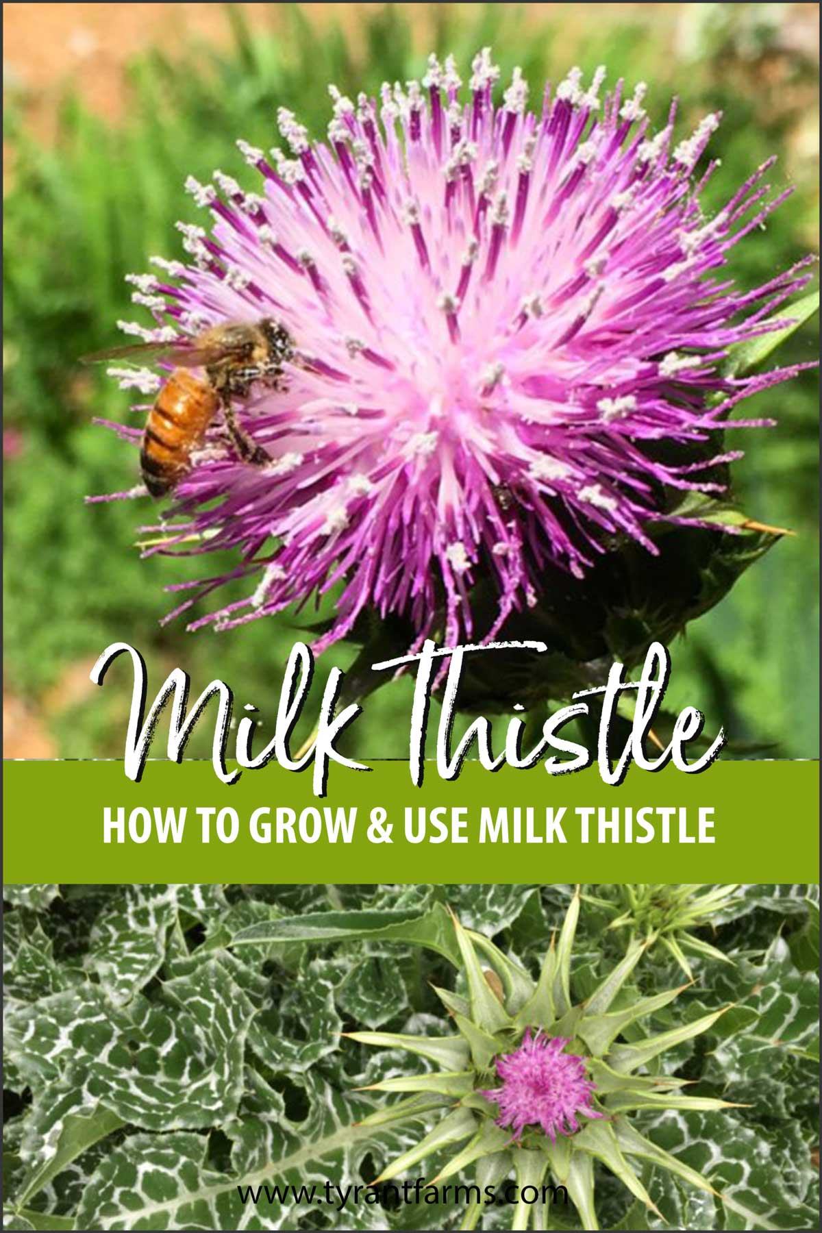 How to grow and use milk thistle