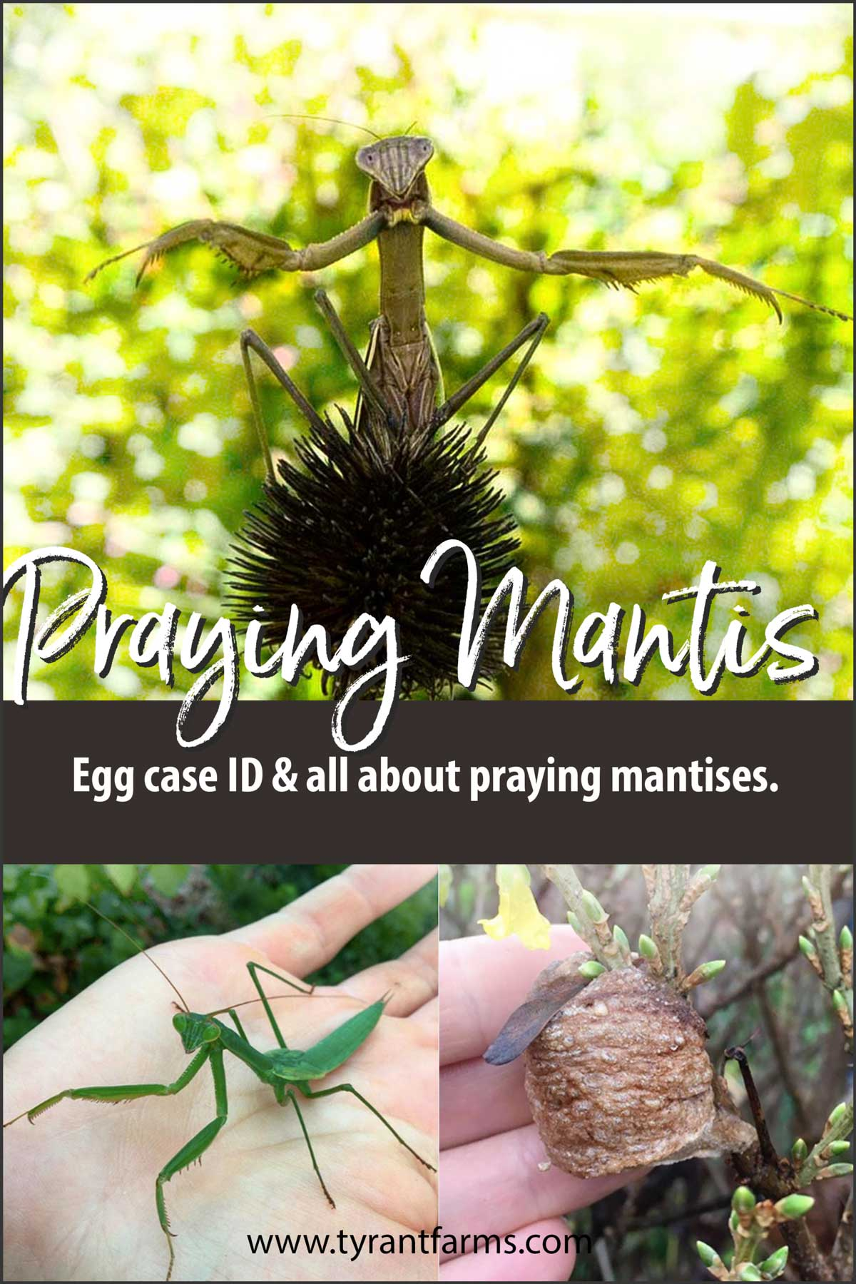 Learn all about praying mantises, including what their egg cases (oothecae) look like. Praying mantises are a popular predatory insect common in home gardens and wild habitats alike.