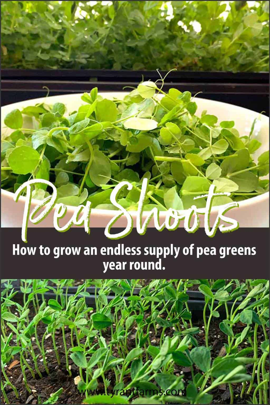 How to grow an endless supply of pea greens year round.