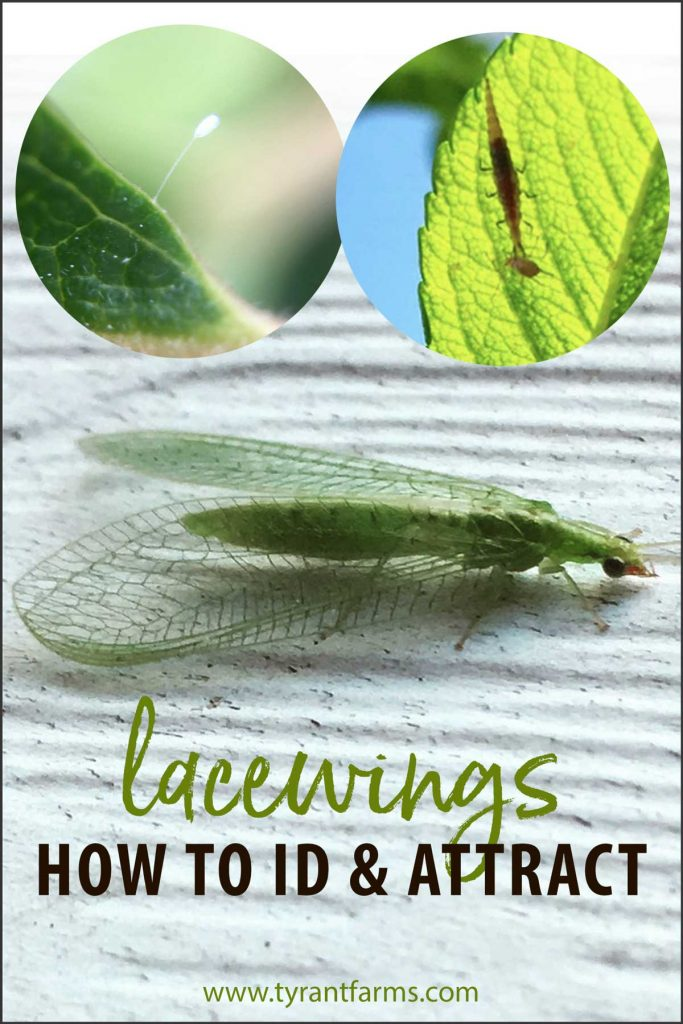 How to ID and attract lacewings