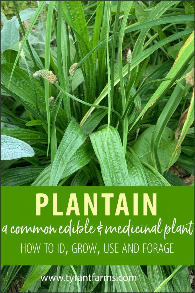 Plantain is a common weed that's likely growing in your yard. Find out how to ID, grow, and forage plantain — including which Plantago species offer the best culinary and medicinal potential.