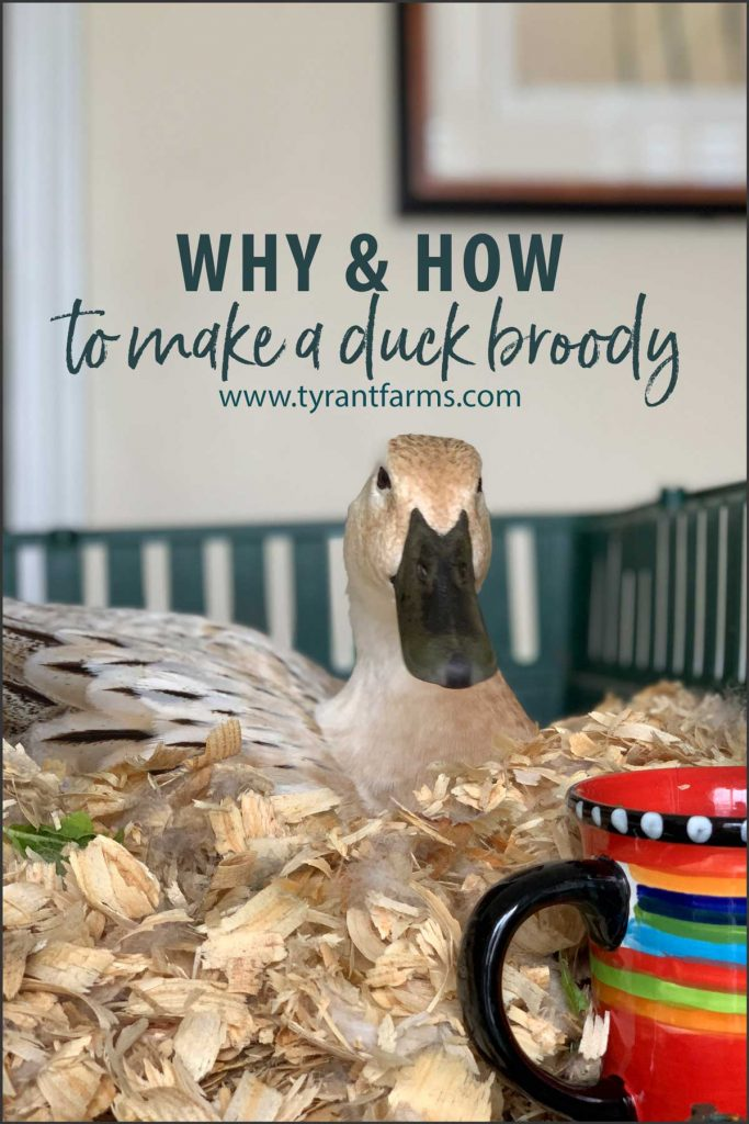 why and how to make a duck go broody