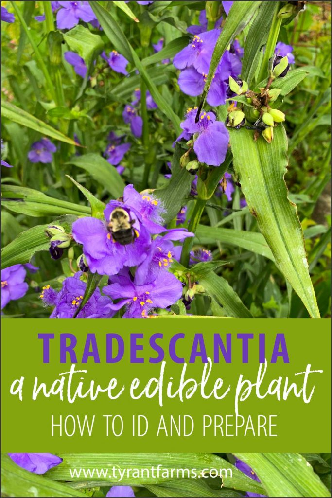 Tradescantia virginiana - how to grow and use each part of this edible native plant.